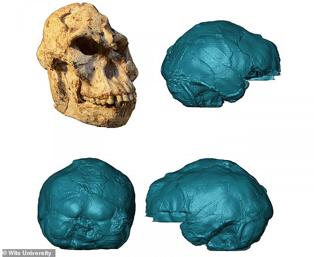 MicroCT scans of the Australopithecus fossil were used to reconstruct the brain, andreveal a small brain combining ape-like and human-like features