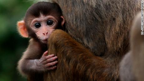A baby rhesus macaque monkey looks out from the arms of its mother in Hong Kong in 2011.