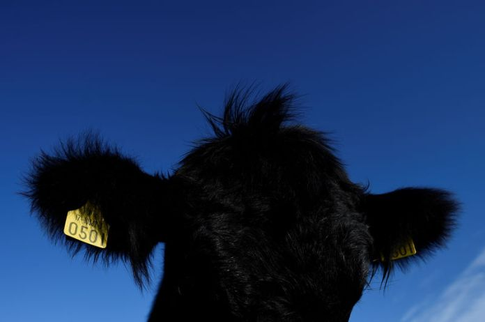 © Reuters. FILE PHOTO: The top of the head and ears of an Aberdeen Angus cow is seen in Enniskerry