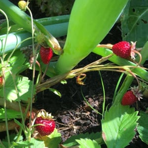 Wild strawberries, York: from allotment callout 2019