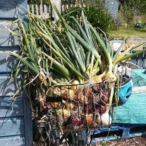 onions, Eastney, Portsmouth: from allotment callout 2019