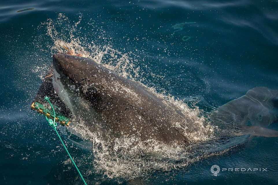 They hope the material, which is more resistant to bites - even from a Great White Shark - will held to reduce the risk of death from injuries