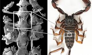 Parioscorpio venator