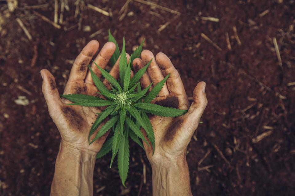 Hands holding a small cannabis plant