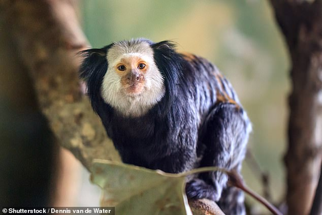 An extinct species of monkey, thought to be the size of a modern-day marmoset (pictured), conquered the Atlantic Ocean 34 million years ago and sailed from Africa to South America, according to a study