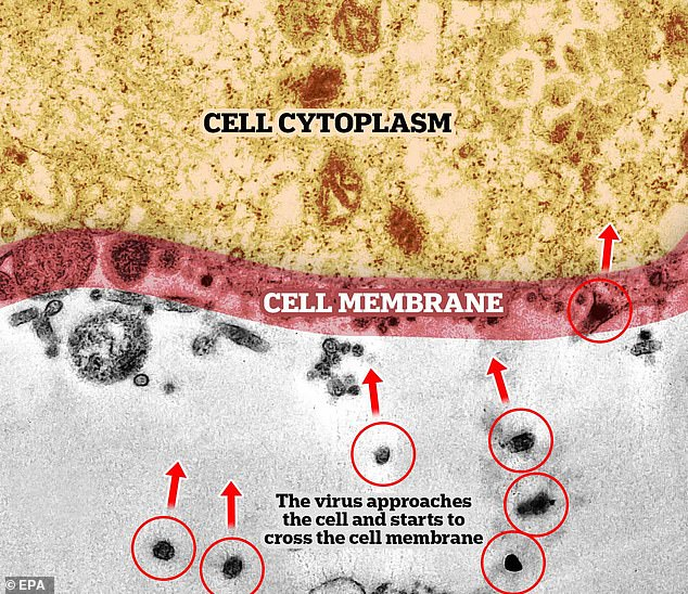 In this image the block dots (the coronavirus) can be seen making their way into the cell membrane - the first part of the infection process