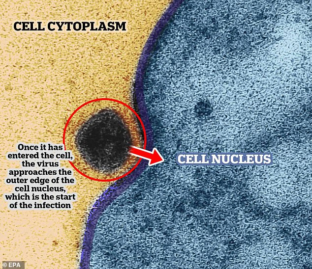 In the second image - zoomed in much further than the first - you can see the virus entering the cell nucleus - where the genetic material for the cell is kept