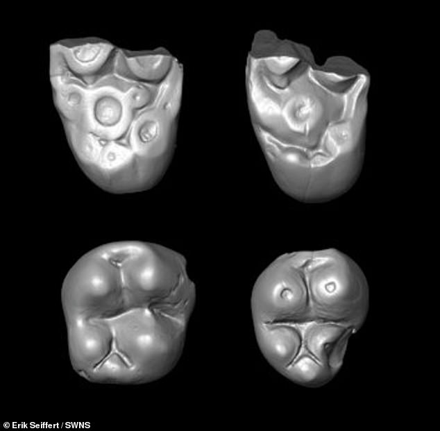 The teeth of the new only discovered monkey species were studied and found to be lumpier and more bulbous than the teeth of platyrrhines, another species of monkey which is already known to have crossed the Atlantic, around 40 million years ago. it was found they were of African origin