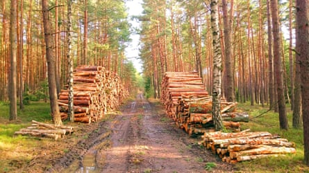 Logs stacked in a pine forest.
