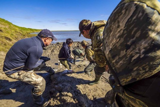 YAMALO-NENETS AUTONOMOUS AREA, RUSSIA - JULY 24, 2020: Scientists dig for mammoth remains. An expedition involving archeologists of Andrei and Alexander Gusev Arctic Exploration Center and employees of Shemanovsky Museum and Exhibition Complex examine mammoth remains found by local residents by Lake Pechevalavato near the village of Seyakha. Yamalo-Nenets Autonomous Area Government Press Office/TASS (Photo by TASS\TASS via Getty Images)