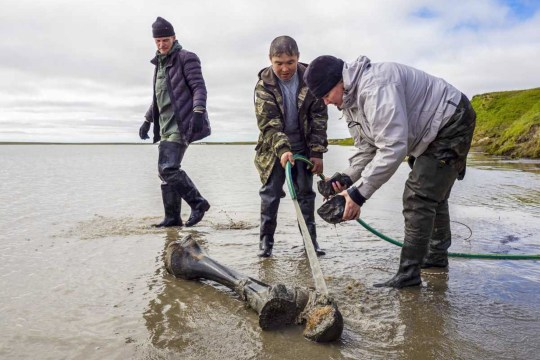 YAMALO-NENETS AUTONOMOUS AREA, RUSSIA - JULY 24, 2020: Scientists recover mammoth remains. An expedition involving archeologists of Andrei and Alexander Gusev Arctic Exploration Center and employees of Shemanovsky Museum and Exhibition Complex examine mammoth remains found by local residents by Lake Pechevalavato near the village of Seyakha. Yamalo-Nenets Autonomous Area Government Press Office/TASS (Photo by TASS\TASS via Getty Images)