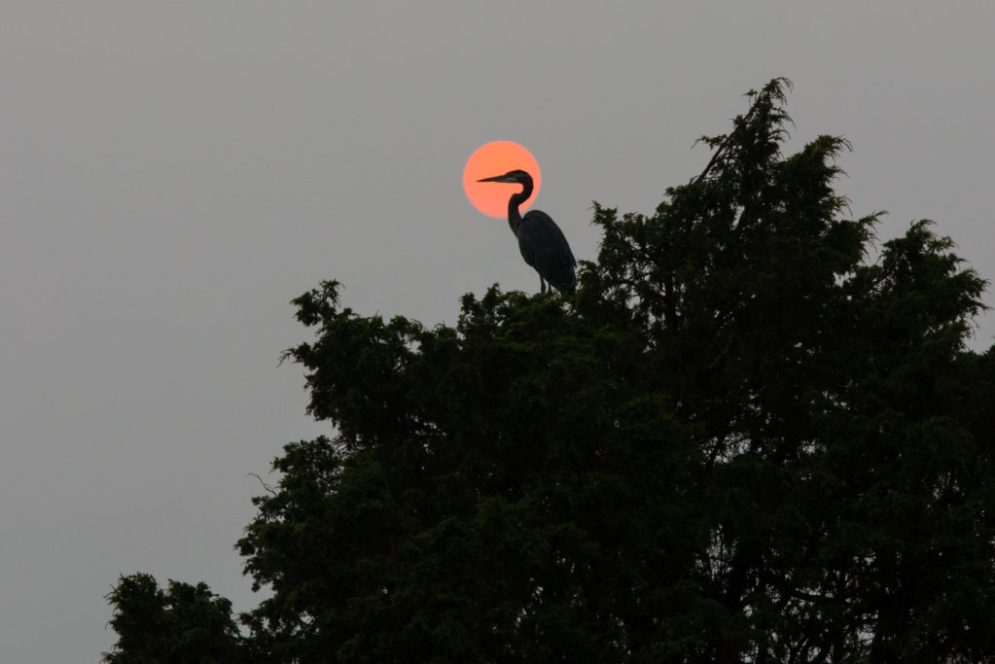 The head and beak of a heron perched in a tree stand out against the orange sun in the sky.
