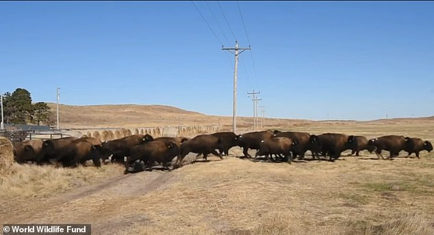 Approximately 100 bison have returned to their native plains in what is now the Wolakota Buffalo Range in South Dakota's Rosebud Indian Reservation