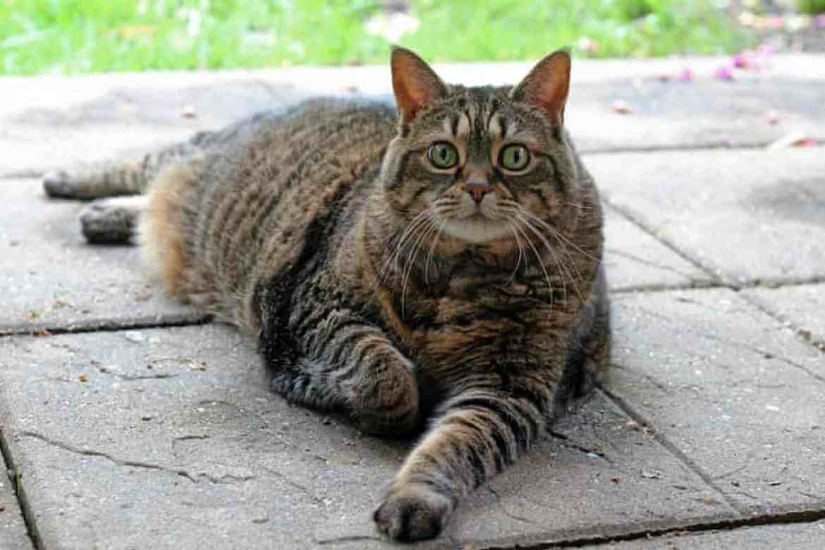 A full length photo of an overweight brown tabby cat looking at the camera