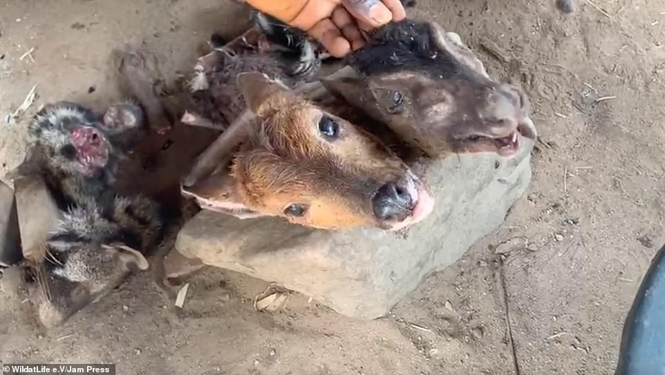 Dozens of primates can be seen in the footage stuck in small cages while snakes, crocodiles, duikers (pictured, severed duiker heads), sea turtles, manatees, rodents and parakeets are also present