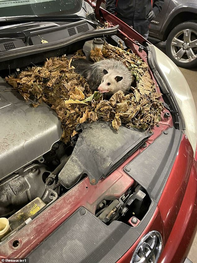 This car's bonnet had a rather unusual guest as a large rodent seemed to have created a nest out of leaves inside the vehicle
