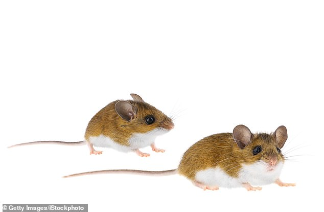 Male California mice had a litter within 55 days of being introduced to their new female partner about as quickly as they did with their first lady love