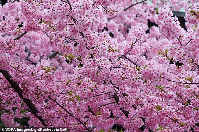 Known as The Sakura (Japanese for cherry blossom), it has the same hue as the tree, commonly found in Japan