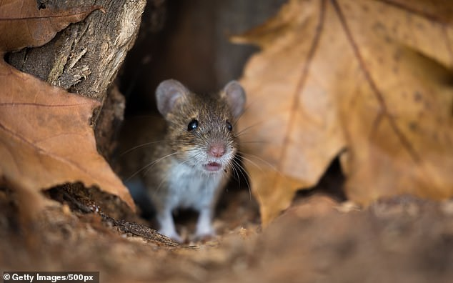 Female California mice who have lost their first partner will wait an average of ten days longer to mate with a new partner than a male in a similar predicament