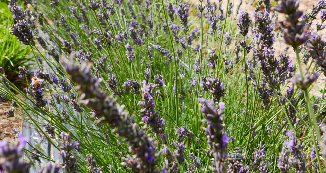 All Things Lovely at the Terre Bleu Lavender Farm Bees