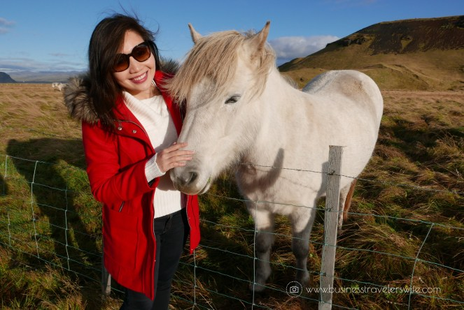 Untold Tips for Tourists Visiting Iceland Icelandic Horse