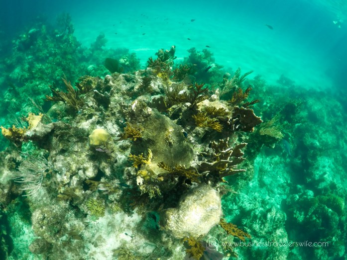 Amazing Snorkeling Tour with Stuart Cove's Dive Bahamas Elkhorn coral reef