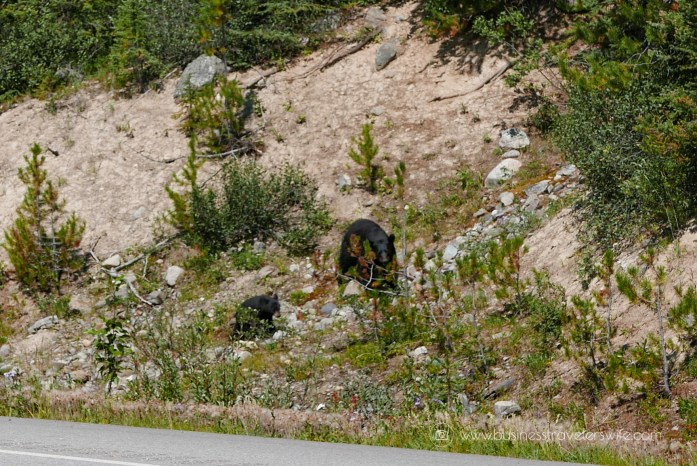 Scenic Summer Roadtrip to the Canadian Rockies Bear Wildlife