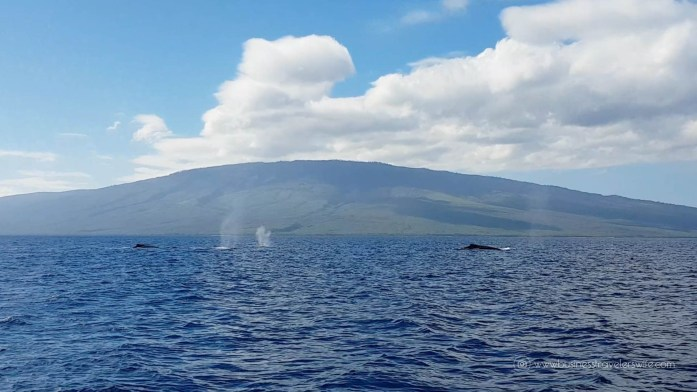 10 Things to Know Before You Go Whale Watching in Maui Hawaii Humpback whale tours