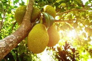 how to eat jackfruit