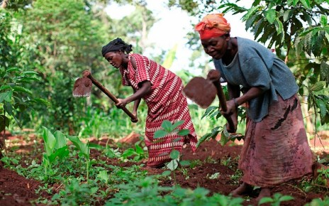 Women tending to their coffee gardens