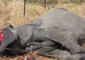 The Uganda Wildlife Bill 2017, which was passed by Parliament early this year,  has been finally assented to by President Yoweri Museveni spelling doom for poachers and wildlife traffickers.