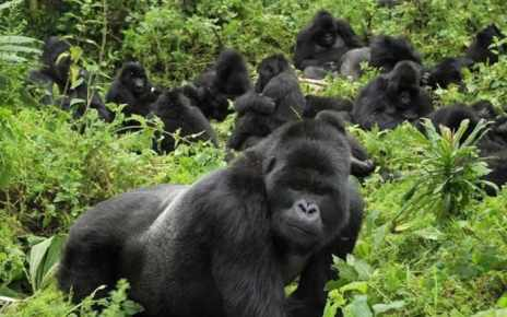 Revenue from Gorilla trekking in Volcanoes National Park grew by 25 per cent in 2018  to $19.2M from the previous year, according to latest data from the Rwanda Development Board.