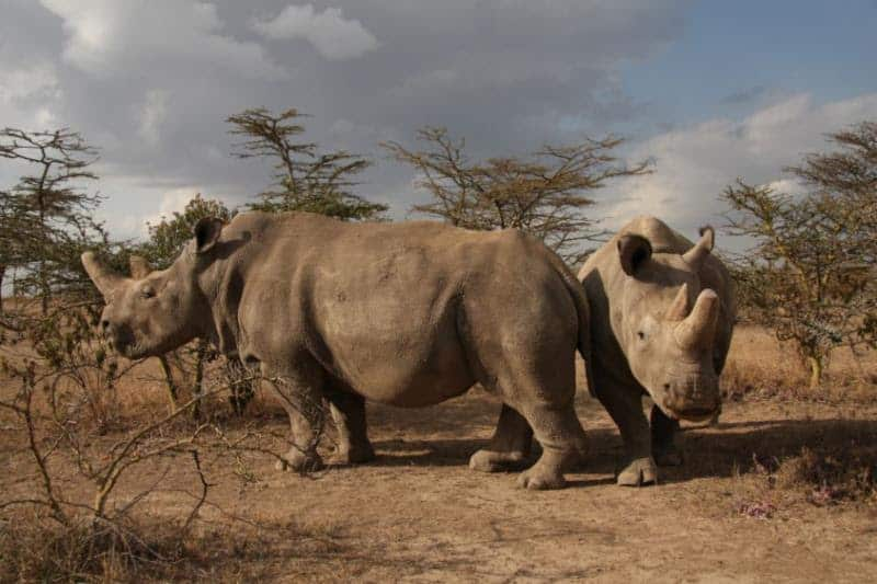 Merck, a science and technology company, is collaborating with the BioRescue Project to save the Northern White Rhinoceros (Rhino) by making its state-of-the-art fertility technologies and extensive knowledge on the subject available.
