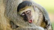 Uganda asked to do more to protect primates