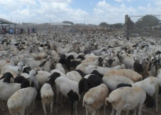 Somaliland is set to resume exporting livestock to the United Arab Emirates this week.