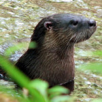 Bull-Creek-Cemetary-otter