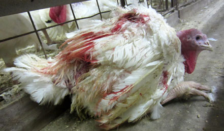 Image result for white turkey factory farm