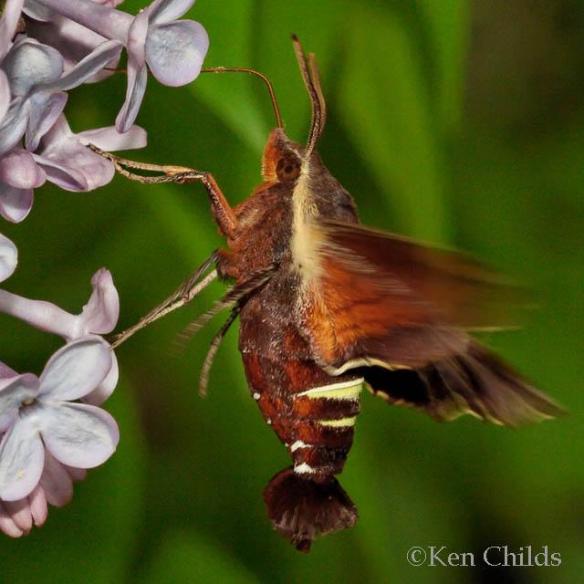 Moth Caterpillar Identification Florida