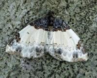 White-ribboned Carpet Moth Mesoleuca ruficillata (Guenee ...
