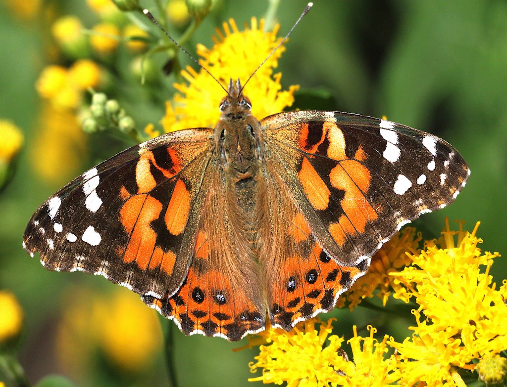 Painted Lady Butterfly Identification Size Host Plants