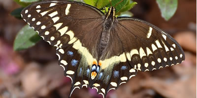 Palamedes Swallowtail Butterfly Identification