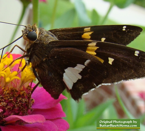 Silver Spotted Skipper Butterflies photographs characteristics size facts