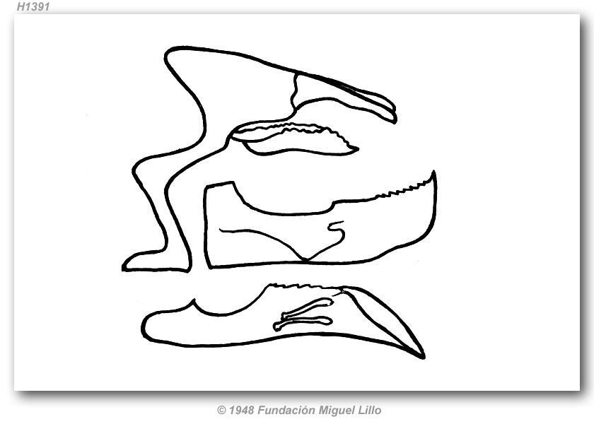 Proteides m. mercurius (genitalia)