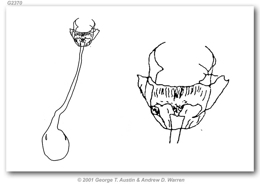 Pyrgus philetas (genitalia)