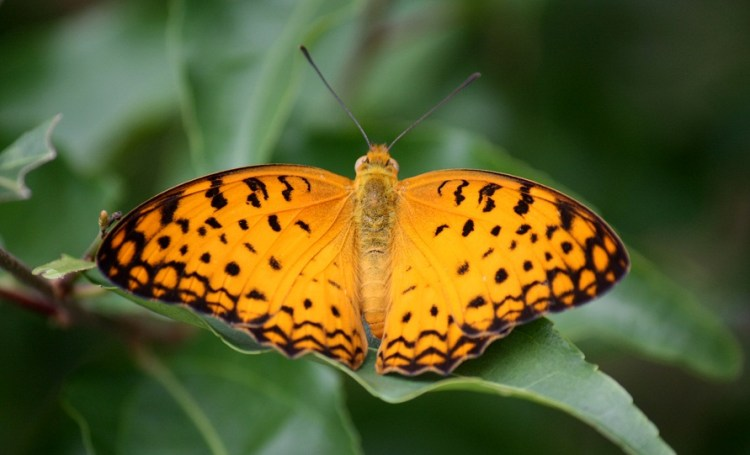 Leopard Butterfly: Identification, Facts, & Pictures