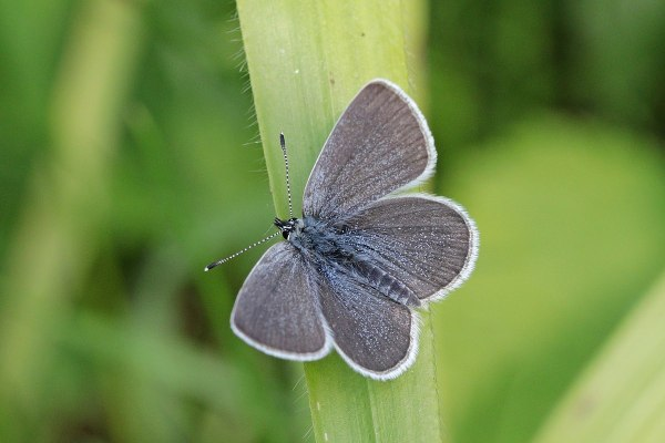 Small Blue Butterfly: Identification, Facts, & Pictures