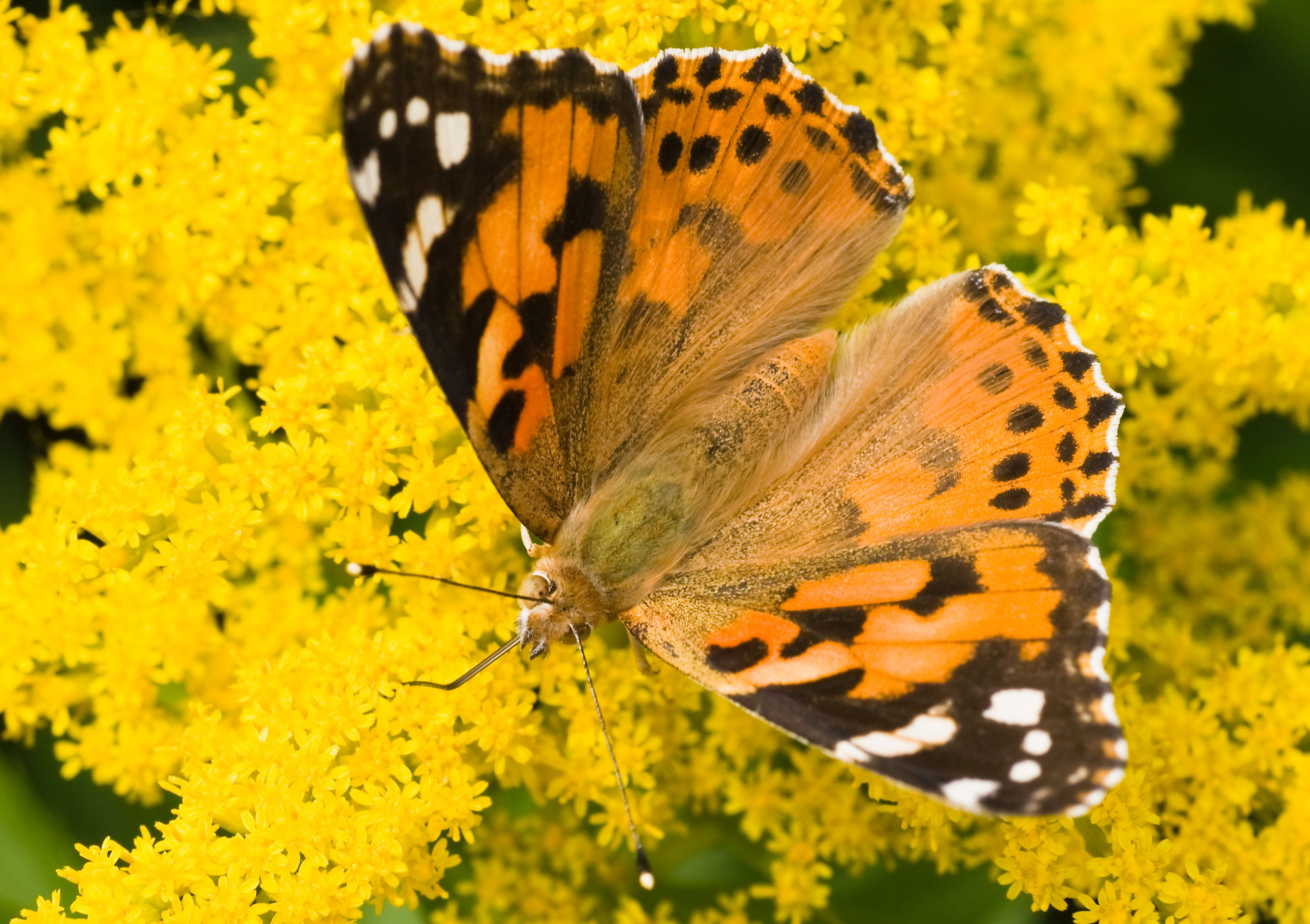 150 60 Painted Lady Butterflies