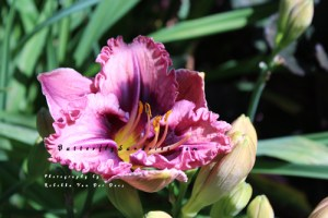 This Day Lily photo, by Rebekka Van Der Does, has also inspired a new pendant design!