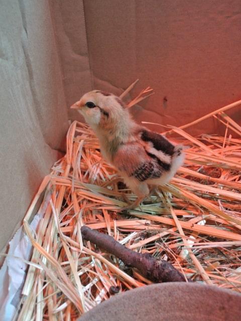 Raising Backyard Chickens For Eggs