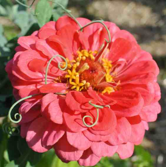 A zinnia with snow pea tendrils intertwined.